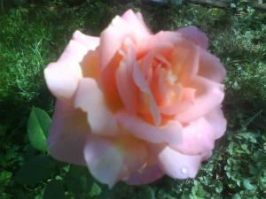 Chicago Peace Rose from my yard