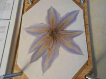 Pressed Nellie Moser Clematis