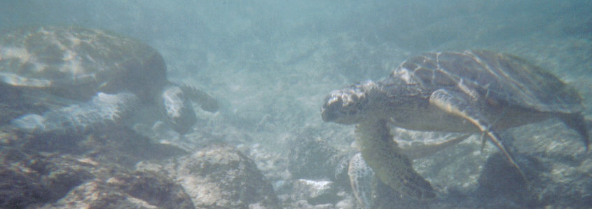 Swimming with sea turtles, Kona, HI, 2006