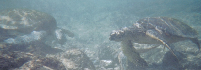 Swimming with sea turtles, Kona, HI, 2006