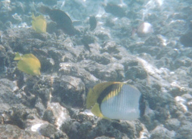 Yellow Tangs and Butterfly Fish on the reef, Kona, HI, 2006