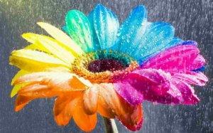Rain-over-a-rainbow-flower from wallpapermania.eu