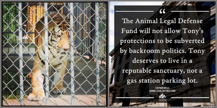 Photo: ©FreeTonyTheTiger2014 | ©The Animal Legal Defense Fund